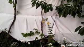 Ezan Çiçeği- Akşam ezanı ile açan çiçek
