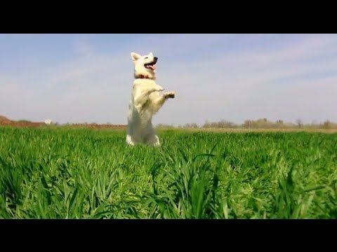 Funny dog tricks by Aminah the White Swiss Shepherd