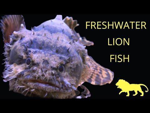 The Freshwater Lionfish - Stonefish Batrachomoeus Trispinosus | Falcon Aquarium Services