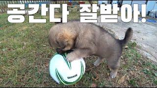 호피견 목줄 풀림/진돗개 강아지들과 축구공 놀이 해봤어…