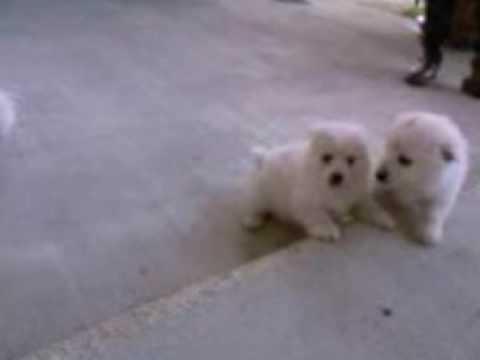 Cuccioli Volpini