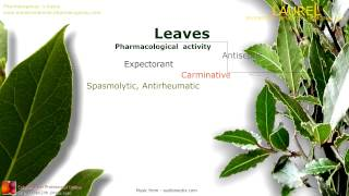 Laurel benefits. Properties of the Bay Laurel leaves