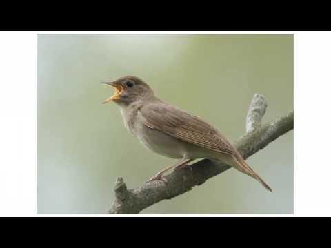 Пение птиц для детей