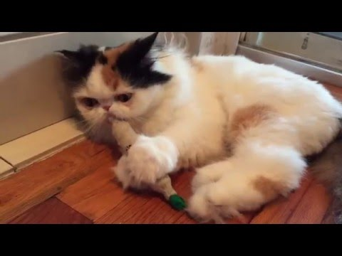 an experiment to determine the effects of catnip on cats Can you smoke catnip update cancel just do some research and experiment with flavors and effects why/ how does catnip affect cats.