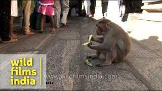 fat monkey eating a banana