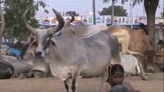 India's Holy And Pampered Cows