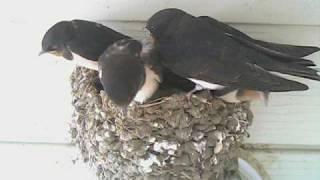 一昨日と昨日にいったん巣立った5羽のツバメが、今日の夕方、薄暗くなっ...