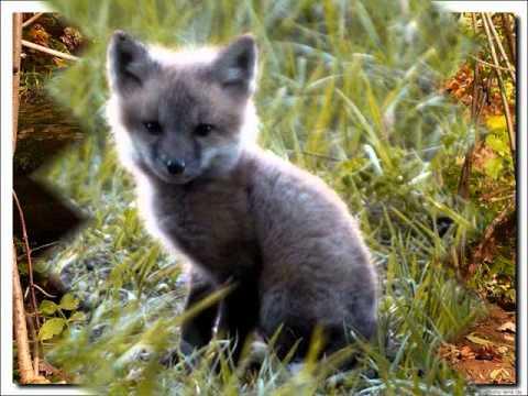 The Fox Hunt.wmv