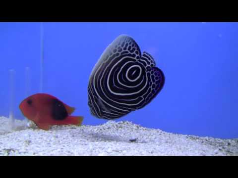 Emperor Angelfish - SW Aquaria Gallery