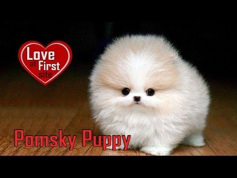 Pomsky Puppy – Dog Breed Information On Pomeranian Husky Mix