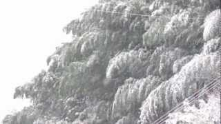 Japanese Bamboo Trees Swaying In The Wind - Winter Snow
