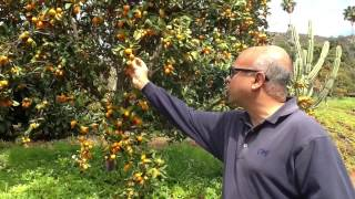 Harvest Of The Month - Nagami Kumquats