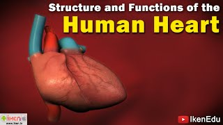 Human Heart Anatomy | Learn About Structure and Functioning of Human Heart