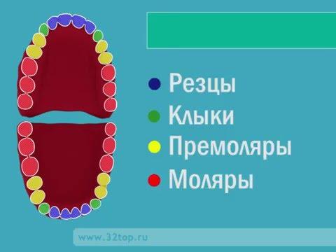 Как правильно называются зубы