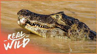 The Elusive Alligators Of The Marshlands (Wildlife Documentary) | Savage Wild | Real Wild