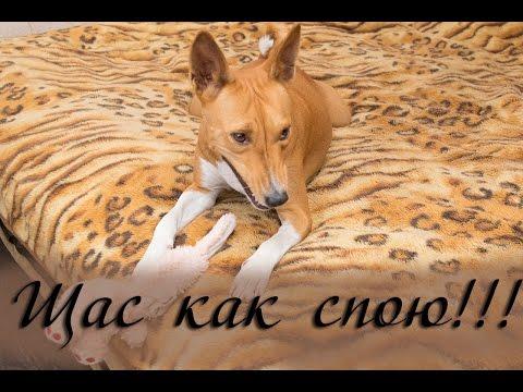 Нелающая собака так прикольно воет! Заслушаешься!