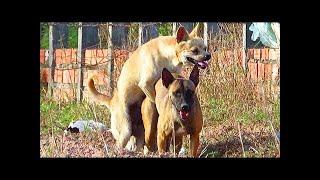 Carolina Dog Vs Belgian Malinois On The Rice Field | Natural Life O...