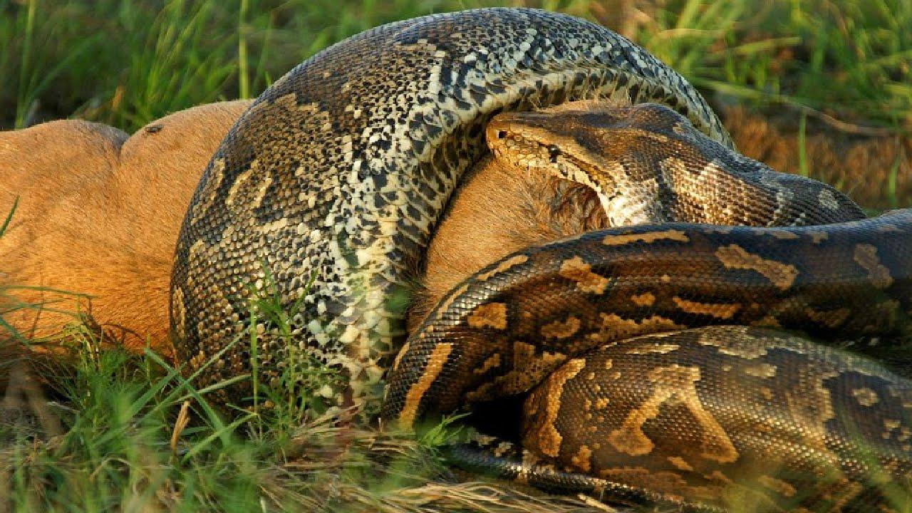 Ular Python Terbesar Anaconda Raksasa Di Dunia Ular Ditemukan Di Sungai Amazon Youtube