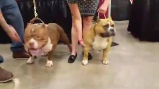 Champion Muscletone's Mr.Bean And Champion Cittybullys Rocko