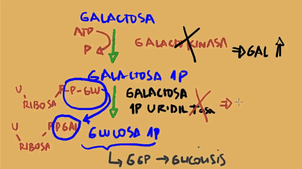 Metabolismo de la Fructosa y Galactosa - YouTube