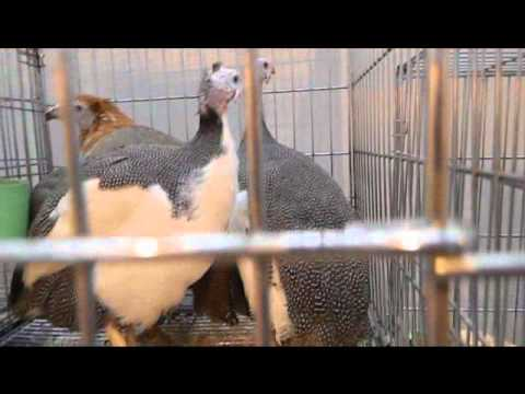 Гибрид цесарки и курицы на выставке Золотая Осень-2010