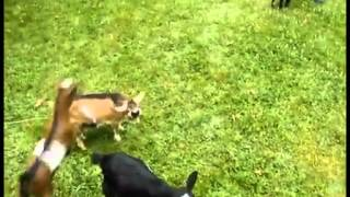 Buttermilk the baby goat is an bully