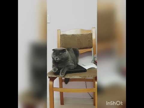 Scottish Fold CAT BAKS #GRAY$$