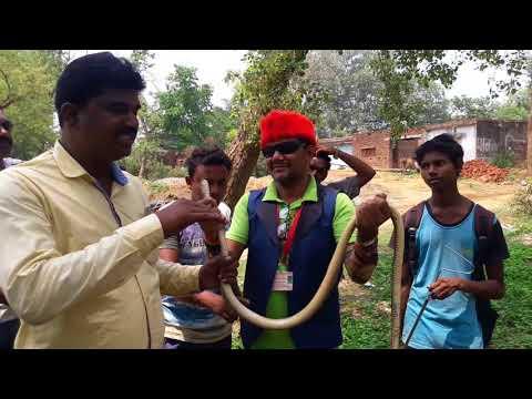 Rescue Indian Rat Snake from HOME (non venomous) snake rescue team Panchet dam(N G O)