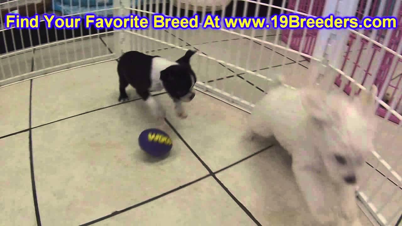 Boston Terrier Puppies For Sale In Billings Montana