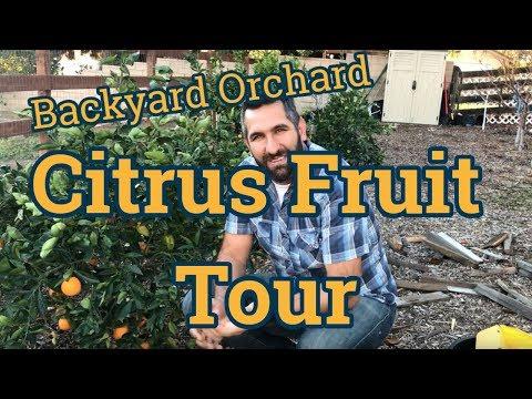 Citrus Fruits - Backyard Orchard Tour