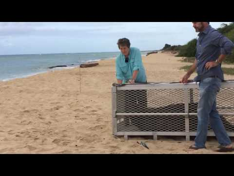 Endangered Hawaiian Monk Seal Released Back Into The Wild