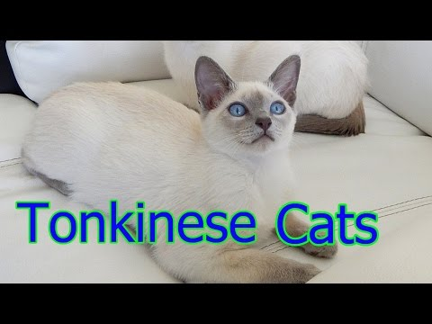 Tonkinese Cats ★ AnyFuns Channel