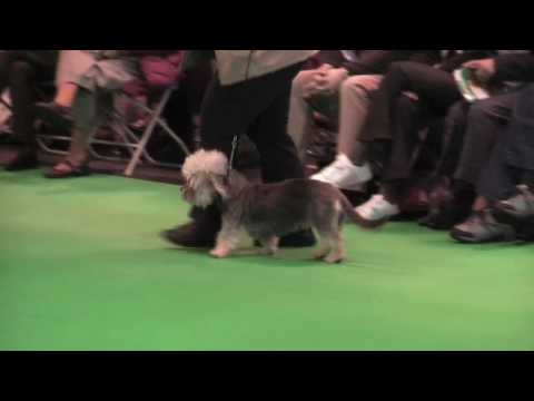 Dandie Dinmont Terriers at Crufts 2010 - Special Puppy Dog