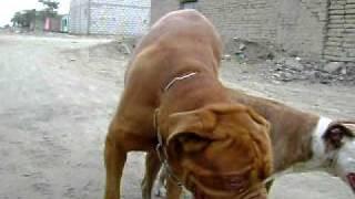 Repeat youtube video pitbull cruze dogo de burdeo