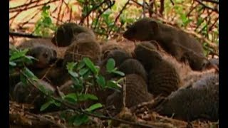 How does a mongoose stand up to a cobra   CCTV English