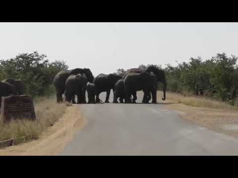 Massive Elephant roadblock