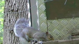 Pest Control with Air Rifles - Sunny Morning Squirrel Shooting