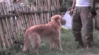 Aggressive Golden Retriever