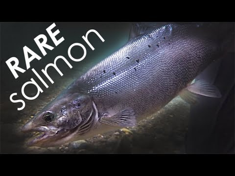 Atlantic Salmon On The Fly!! RARE Catch While Streamer Fishing!