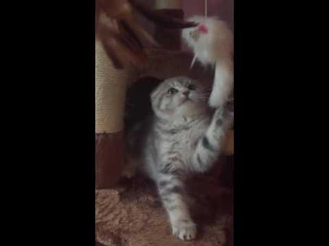 Scottish fold lilac marble female - cozy cats ny