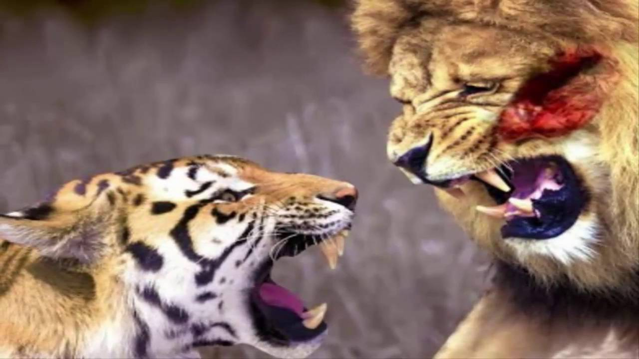 Perkelahian Harimau Vs Singa Sampai Mati Siapa Yang Menang Youtube