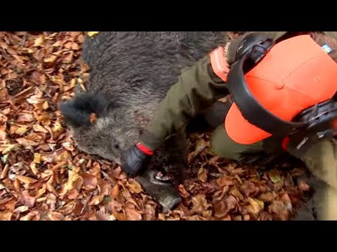 Best of wild boar hunting | Top driven hunts for season 2017 - Ultimate Hunting