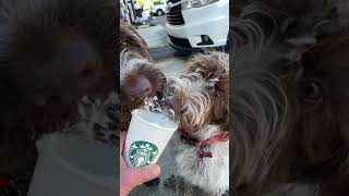 Wirehaired Pointing Griffon Dogs Eating Starbucks Pup Cups (SLOW MOTION)