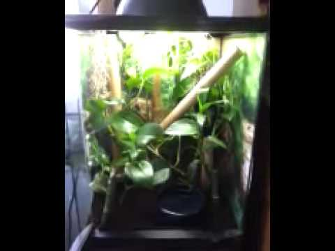Red Eyed Tree Frogs In Zoo Med 12x12x18 Youtube