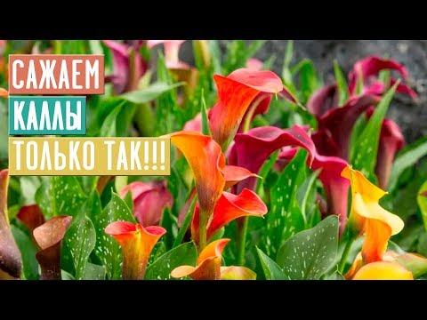 СЕЗОН 2020: ВЫБИРАЕМ И САЖАЕМ КАЛЛЫ ПО ИНСТРУКЦИИ - ЦВЕТЕНИЕ ОБЕСПЕЧЕНО!!! / Садовый гид