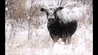 30 000 Cows Killed In Texas Blizzard