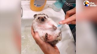 Hedgehog Bath | The Dodo
