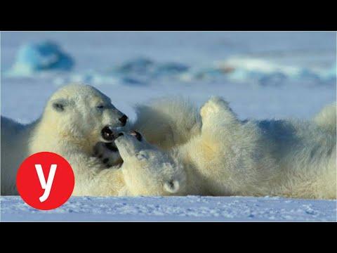 דובי קוטב צדים כלבי ים