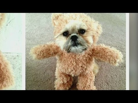 Combining a teddy bear and a Shih Tzu