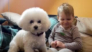 Малыш расчёсывает маленькую белую собаку бишон фризе по имени Скай.